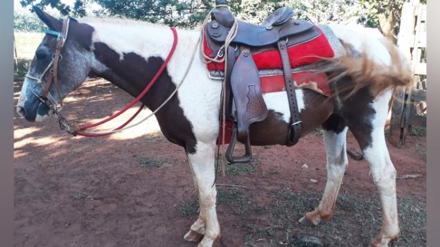 LOTE 17 - ÉGUA 7/8 PAINT HORSE COM REGISTRO