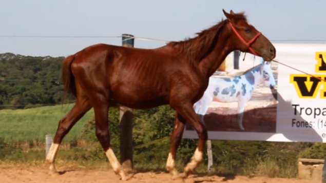 LOTE 11 - MUSTANG