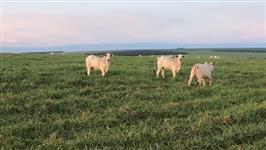 Pasto para recria intensiva de 2000 animais em Camapuã MS