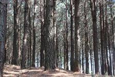 Vendo Terreno com Reflorestamento de Pinus Elliotti