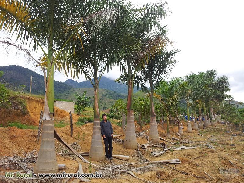 Mudas de Árvores e Palmeiras Adultas