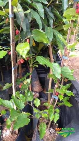 Frutiferas adultas e semi-adultas