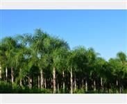 Palmeira jeriva