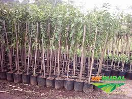mudas nativas e frutiferas varios tamanhos e DAP
