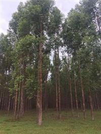 Eucaliptos urograndis de 6 e 7 anos, toras de 15 a 30 cm de diametro