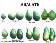 Mudas de Abacate