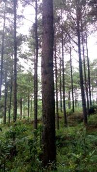 Compro florestas de pinus