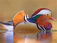 Aves Ornamentais