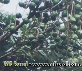 Mudas Frutiferas Produzindo