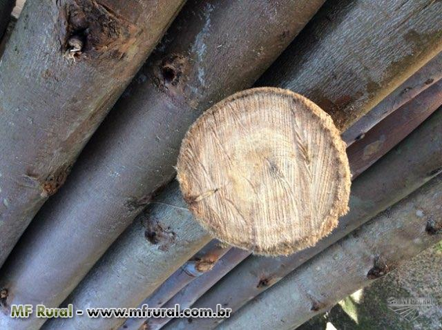 Vendo floresta de eucaliptos 80.000 pes