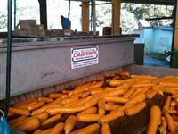 Máquinas para beneficiar, classificar, escolher, lavar e secar cenoura