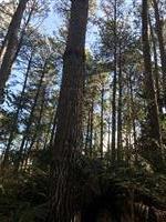 Tora de Pinus