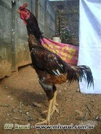 Ovos galados de aves indio gigantes