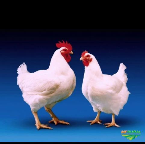 Lote de frangos de corte ate 1000 unid semanal
