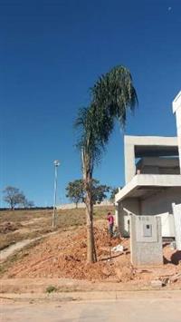 Palmeira Jerivá