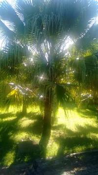 Palmeira latânea