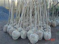 Árvores de DAP