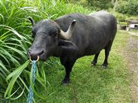 Búfalo de Sela adestrado muito manso