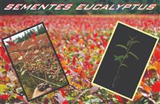 SEMENTES DE EUCALYPTUS - SEMENTES DE PINUS - SEMENTES DE ESPÉCIES NATIVAS