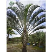 Palmeira Triangular