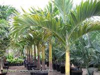 Palmeira Vétia