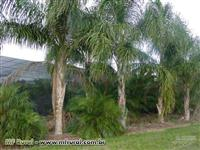 Palmeira Jerivá ( Licuri )