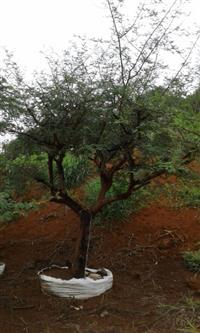ACÁCIA SEYAL (Vachellia seyal)