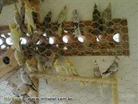 Calopsitas ariscas e mansas