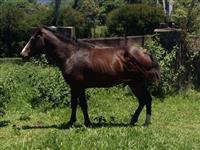 Cavalos e éguas, mansos sem raça definida