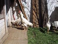 Ovos de Galinhas Índias Brancas