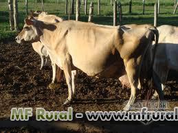 Venda de gado Jersey