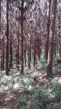 Vendo 120.000 Arvores de Pinus Taeda 100KM de Curitiba-PR