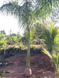 Mudas Palmeira Imperial