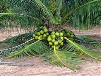 Coco anão produzindo