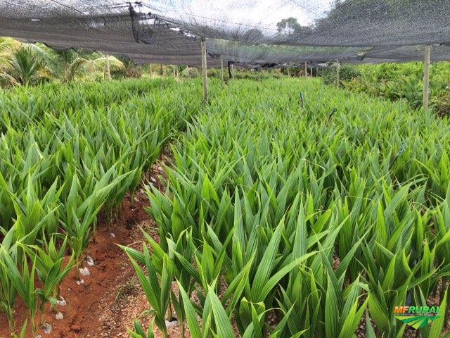 Mudas de coco anão na castanha e até produzindo.
