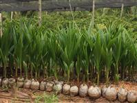 Mudas De coco anão verde