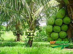 Mudas de coco anão produzindo.
