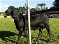 Vendo carneiros da raça Santa Ines e Dorset