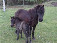 Lindo casal de poneis