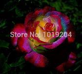 10 Sementes da Rosa Colorida Francesa
