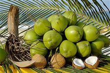 Distribuidora de Coco Verde no Atacado