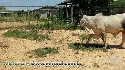 TOURINHOS GUZERÁ PO