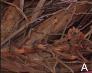 Biomassa de produção de coqueiral capacidade para 5000 toneladas mês