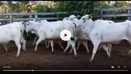 Venda de 300 vacas Nelore prenhes de Aberdeen Angus na regiao de Marilia