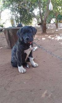 Filhotes de Bull Mastiff Brasileiro c/ Pedigree.