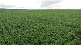 Linda fazenda Oferta de 1550 hectares para lavoura de soja e milho e feijão e muito mais