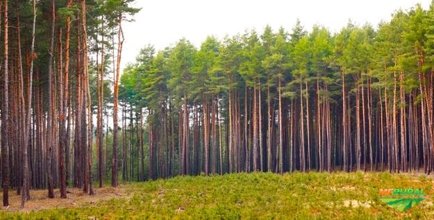 Compro toras de Pinus