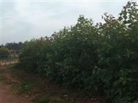Mudas de Corymbia toreliana - especiais para quebra vento e cerca viva