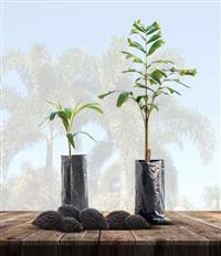 Palmeira Rabo de Raposa, SEMENTES , MUDAS E PLANTAS