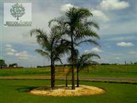 Palmeira Jerivá ADULTA